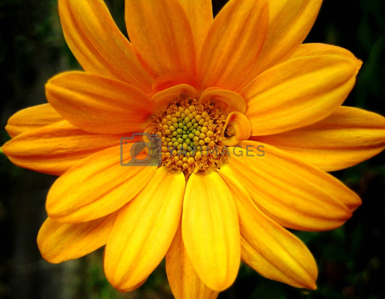 Yellow chrysanthemun flower macro background wallpaper fine art prints