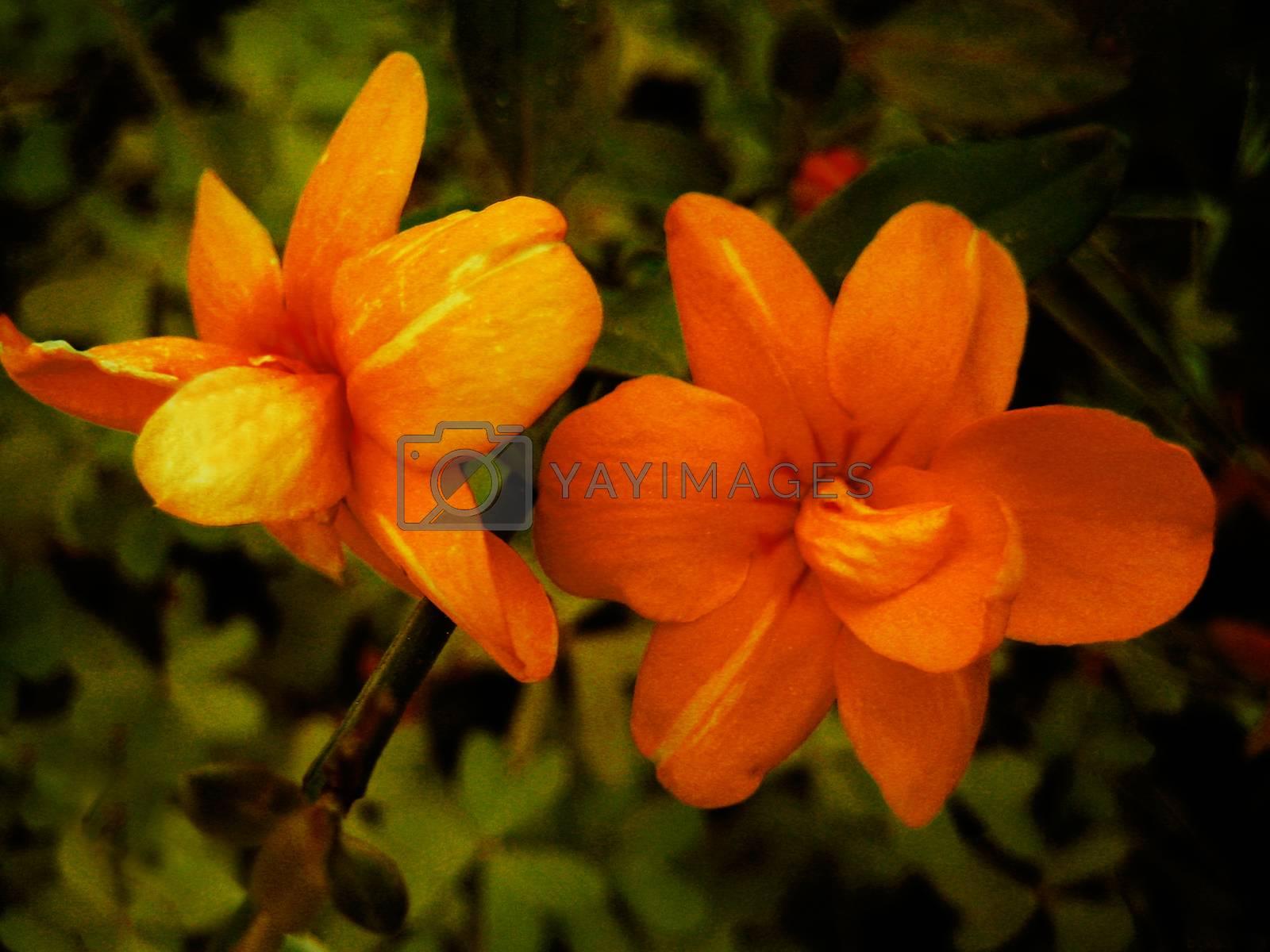 Orange flower macro background and wallpaper fine art prints