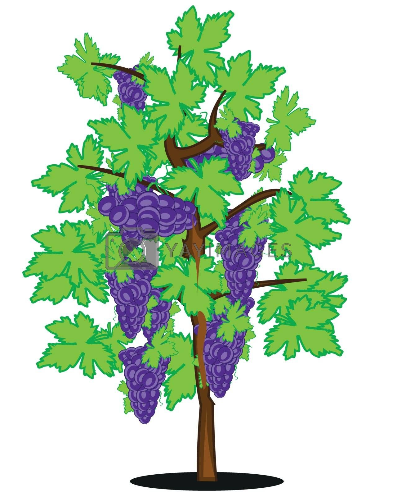 Bush of ripe grape on white background is insulated