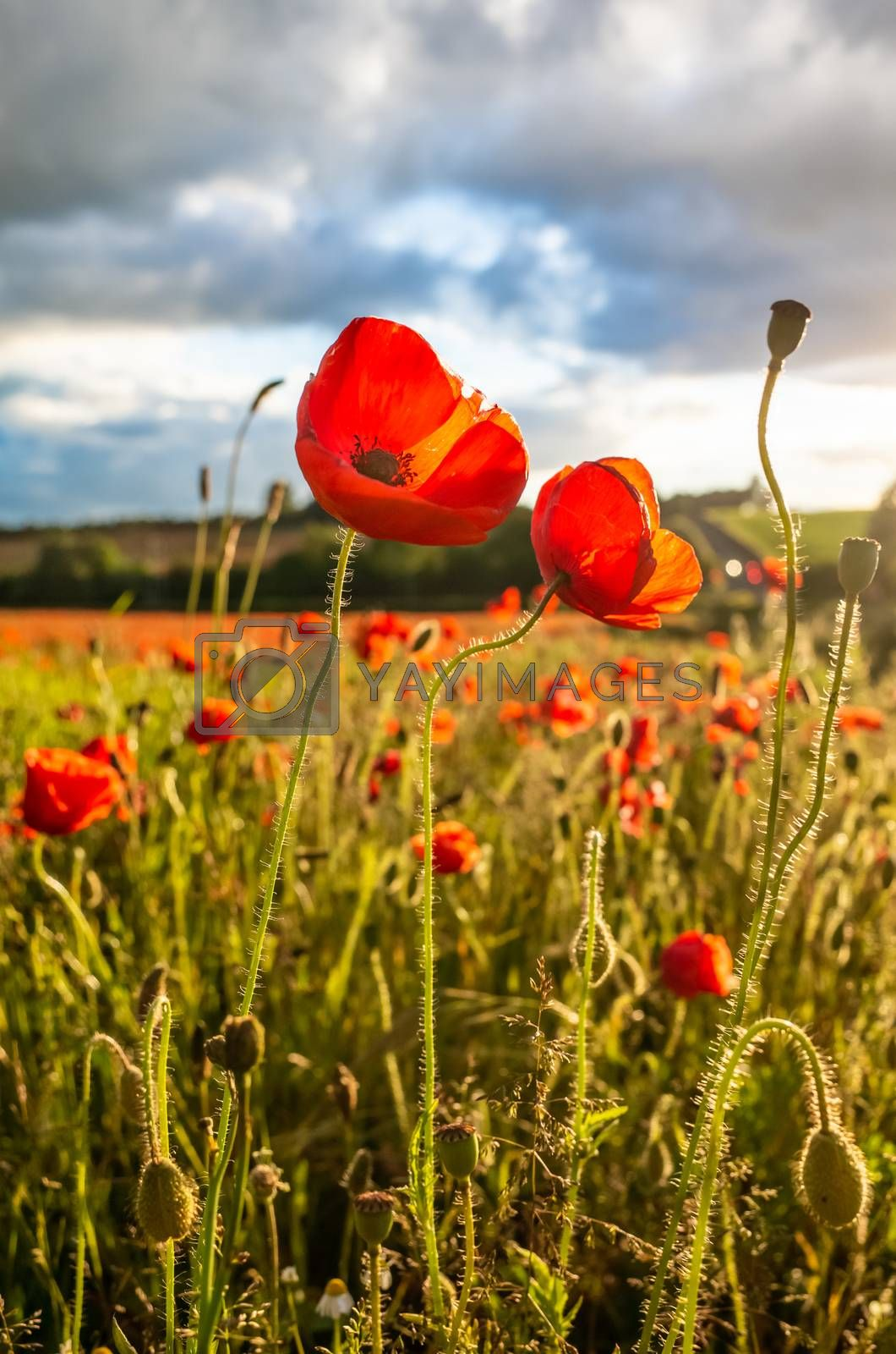 Royalty free image of Amazing Poppy Blossom in a Poppy Field by kstphotography