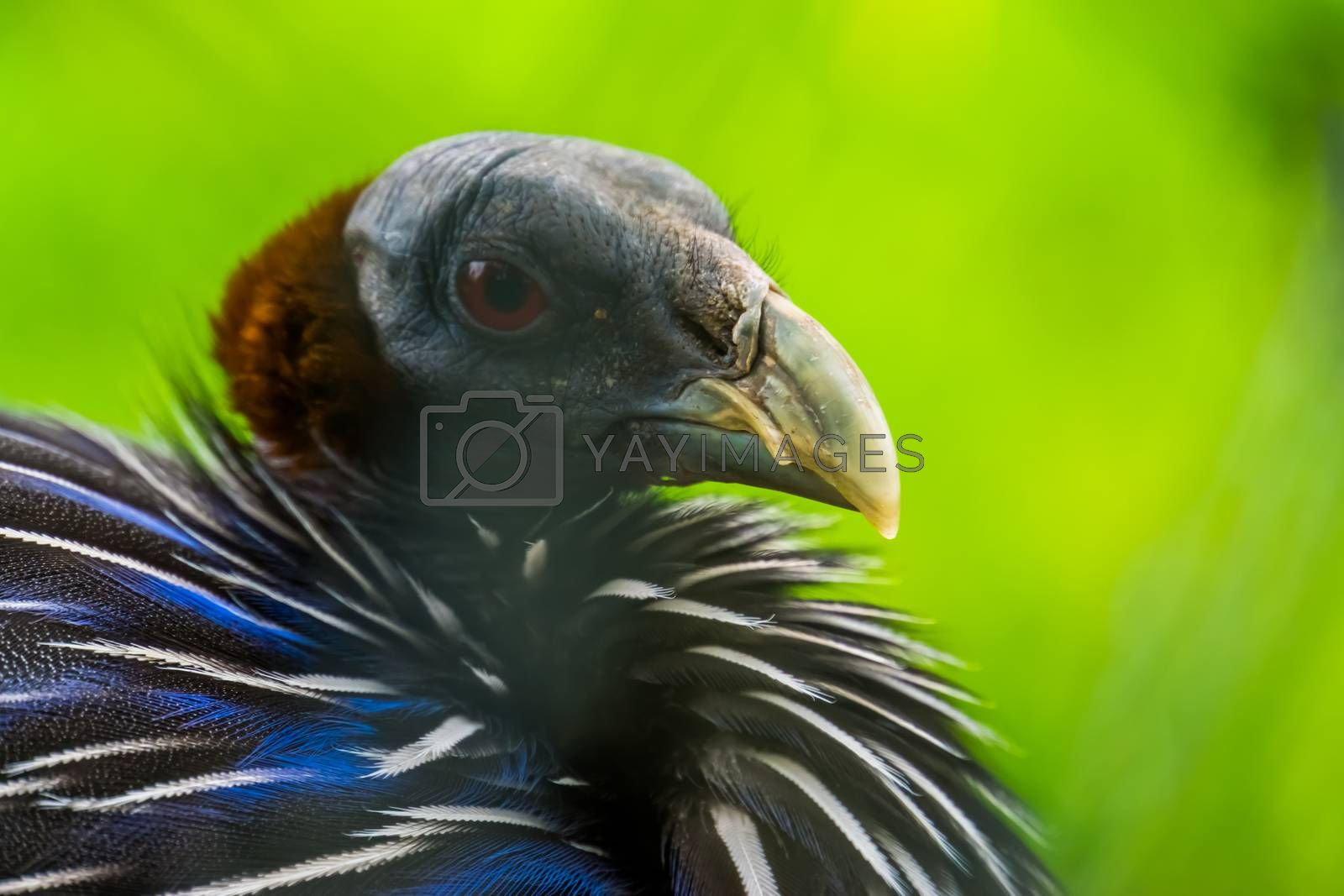 the face of a vulturine guineafowl in closeup, colorful tropical pheasant from Africa