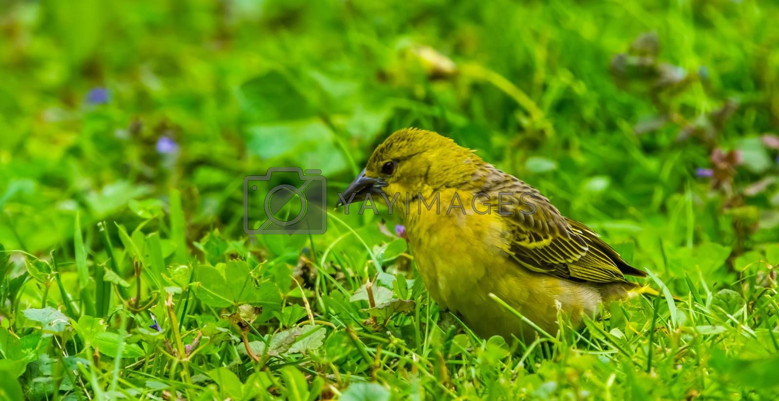 closeup of a yellow female weaver bird standing in the grass, tropical bird specie from Africa