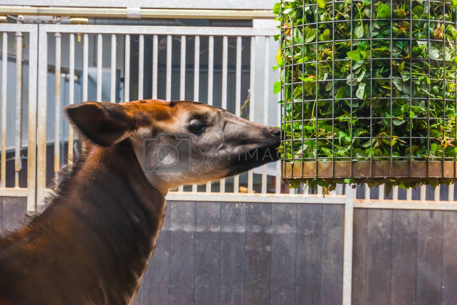 closeup of a okapi eating from a basket full of branches with green leaves, zoo animal feeding, Endangered giraffe specie from Congo