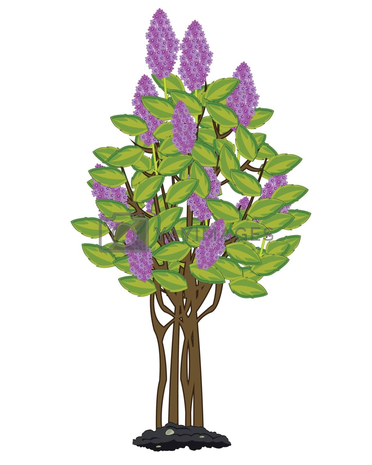 Vector illustration tree lilac by flowering springtime
