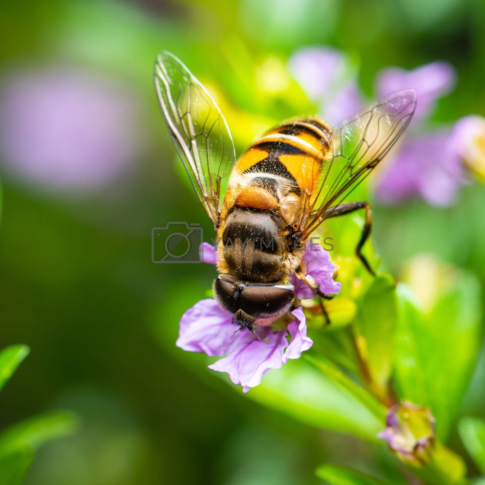 Macro shot of a bee eating pollen from a false heather flower