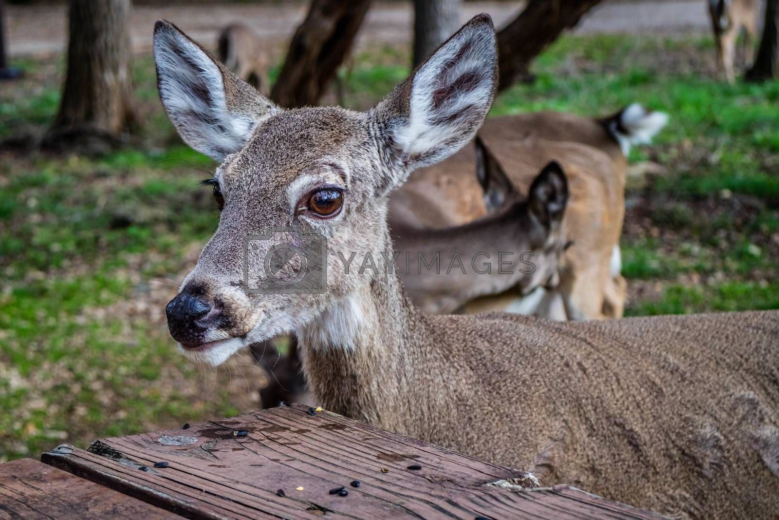 A White-Tailed Deer in Lake Hills, Texas by Cheri Alguire