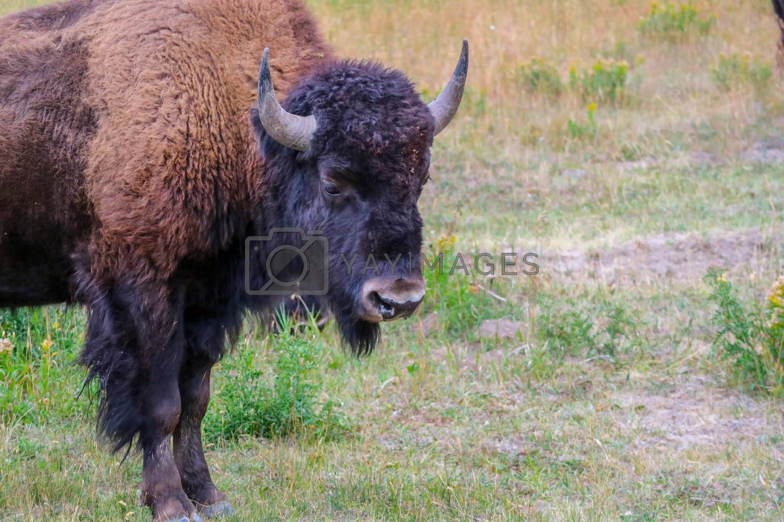 A portrait shot of buffalo in the green pasture around Lamar Valley Area of Yellowstone