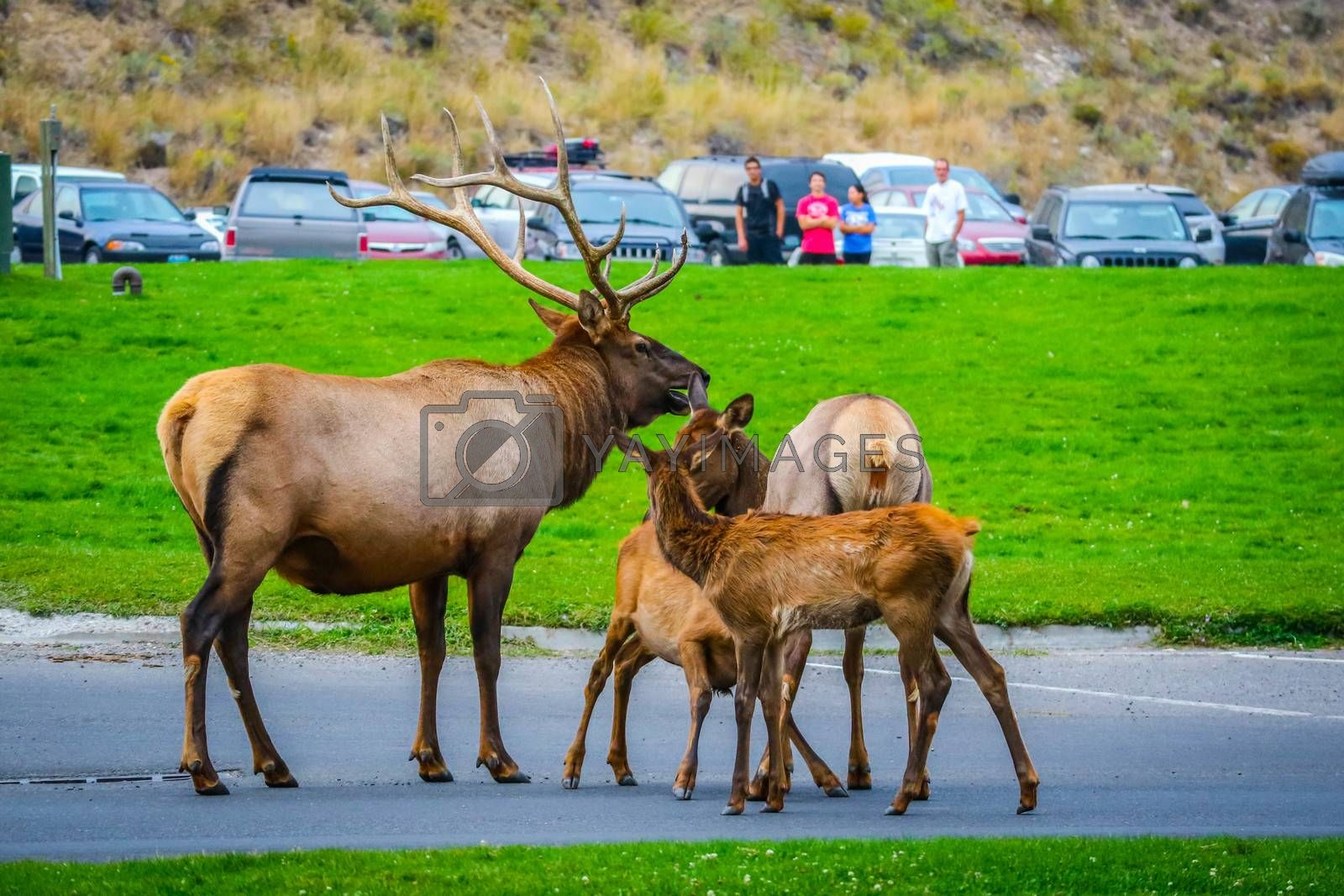 It is the Elk rut season of the year in Mammoth Hot Springs Area of Yellowstone