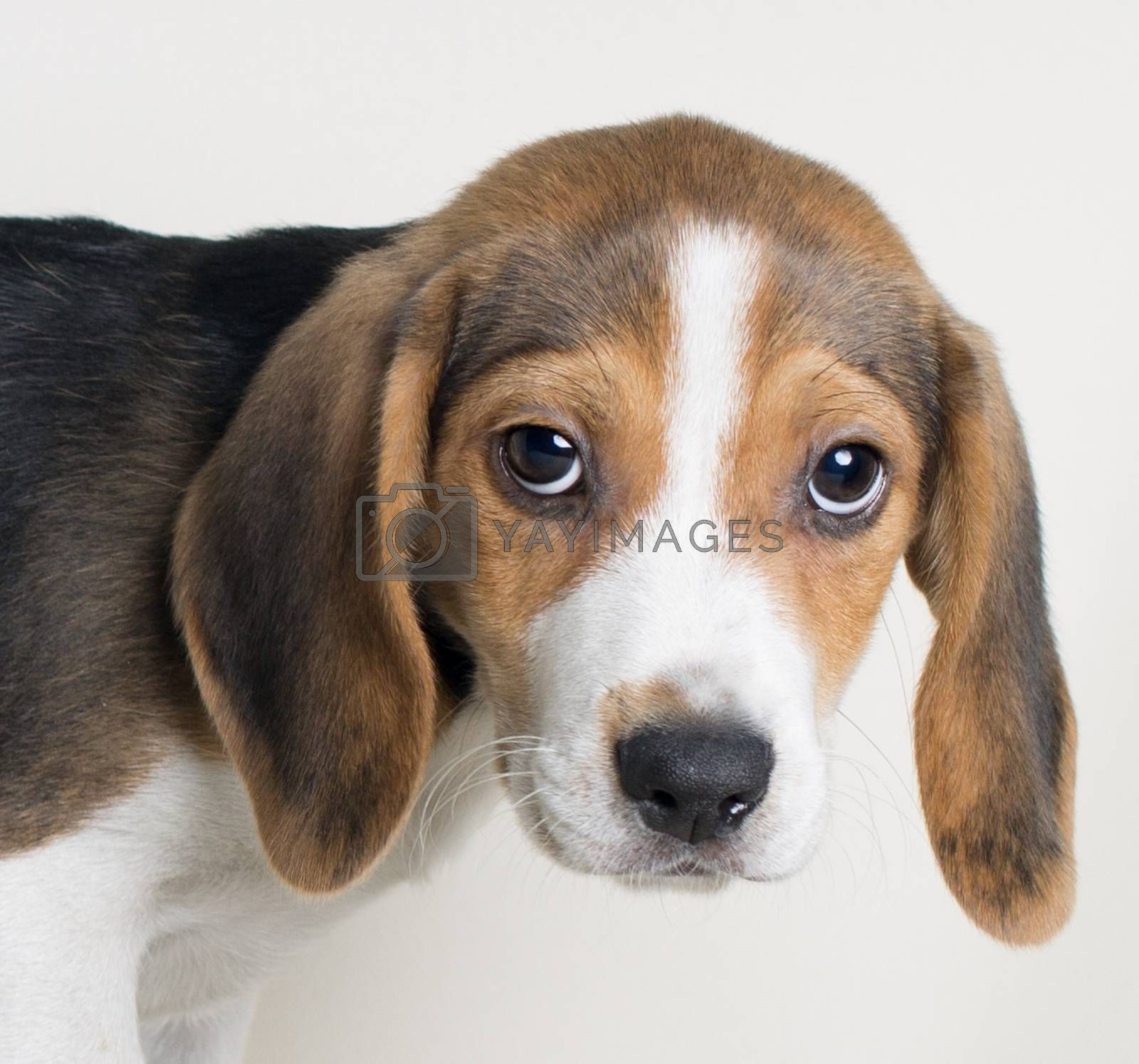 Close-up portrait of Beagle dog looking at camera on white bakcg by Endika