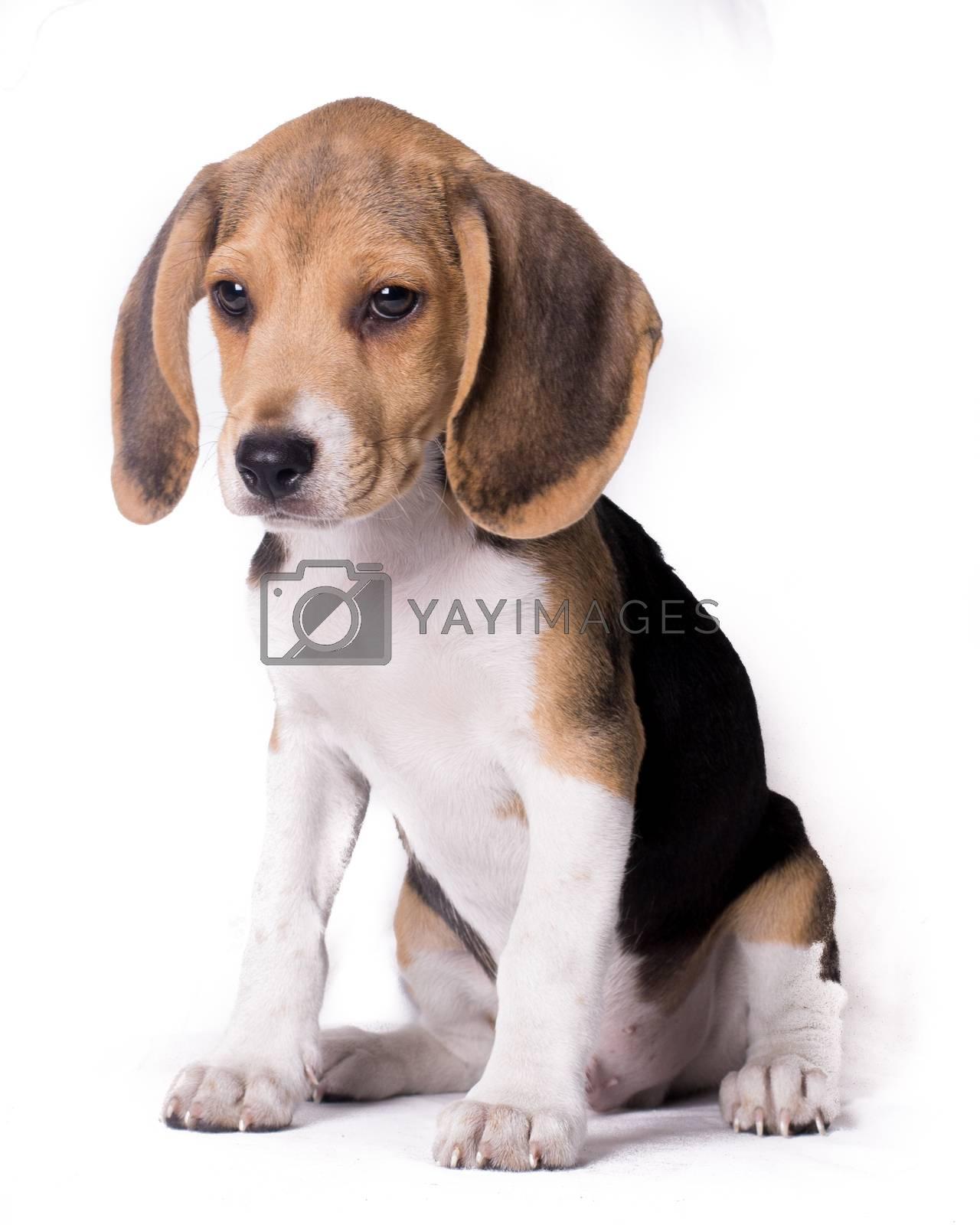 Full body portrait of beagle dog isolated on white bakcground  by Endika