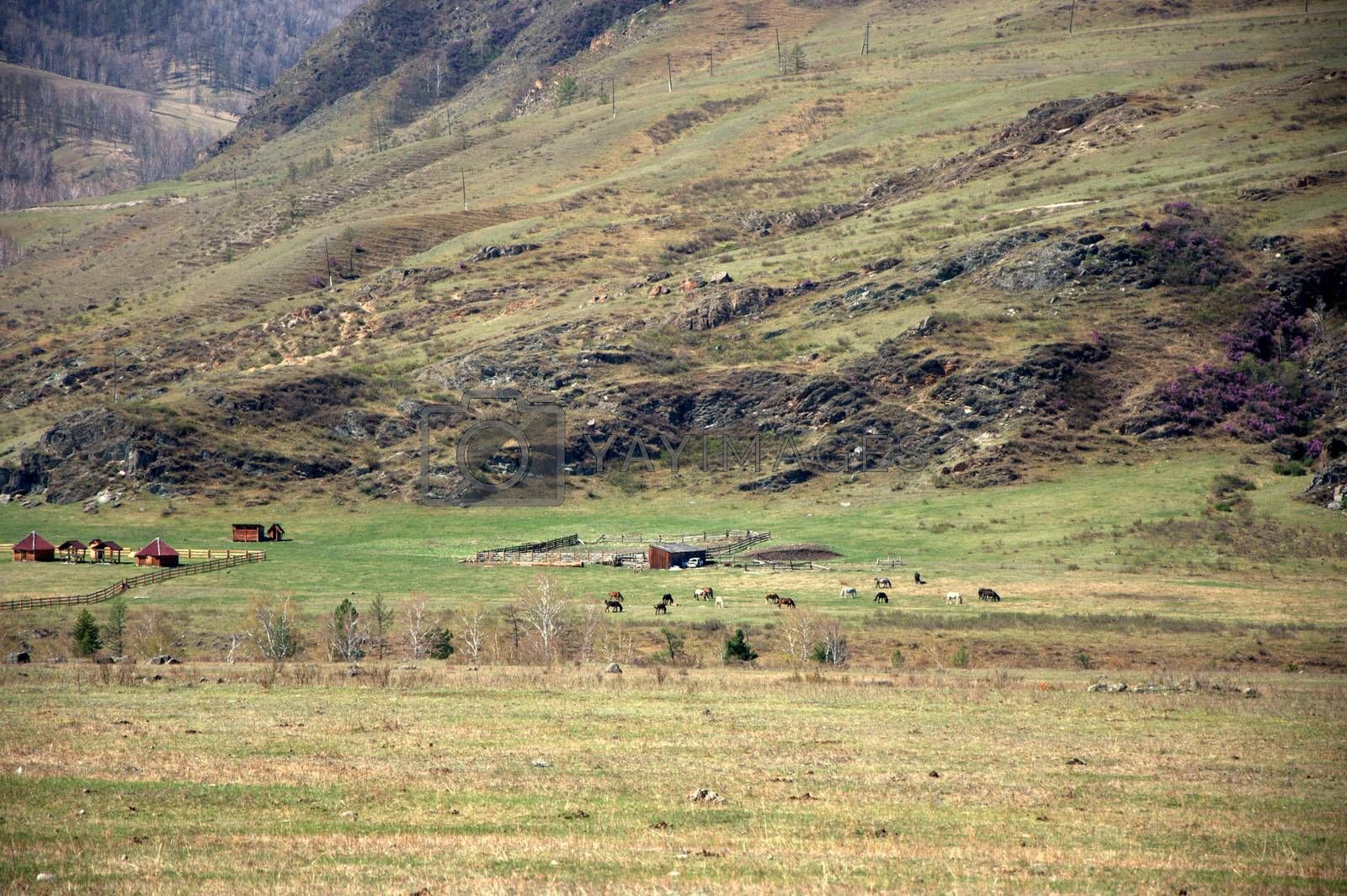 Fertile field of grass at the foot of a high mountain. Altai, Siberia, Russia.