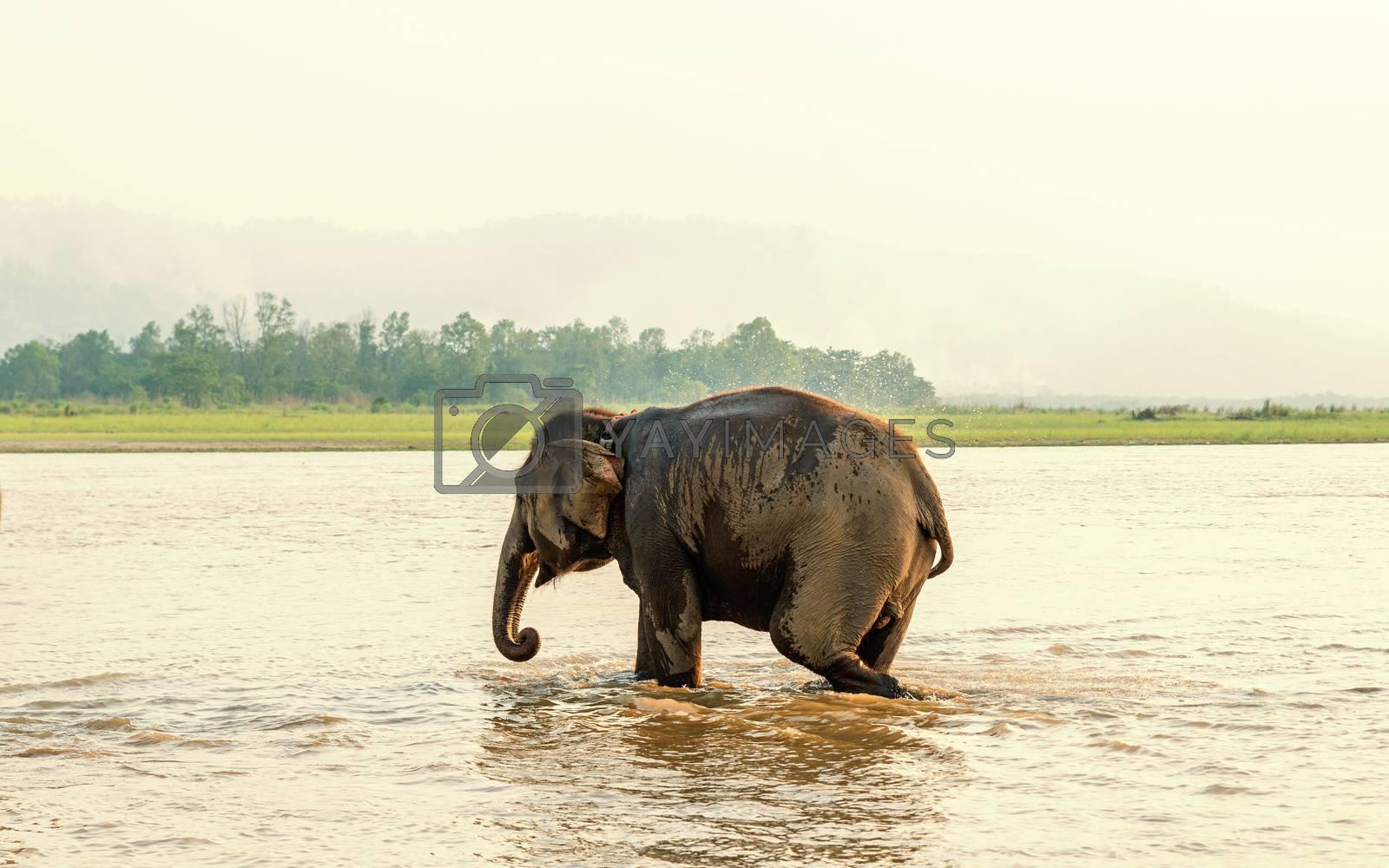 Elephant bathing in the Gandak river at sunset in Chitwan national park, Nepal