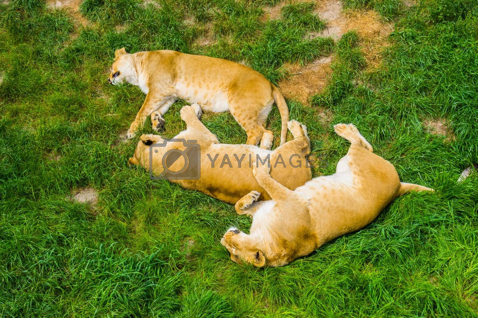 group of female lions sleeping close together in the grass, social lion behavior, Vulnerable animal specie from Africa