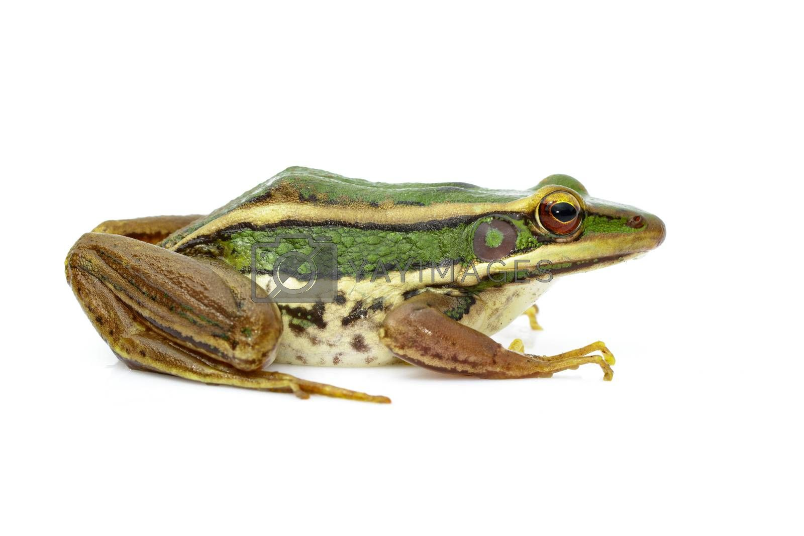 Image of paddy field green frog or Green Paddy Frog (Rana erythraea) on a white background. Amphibian. Animal.