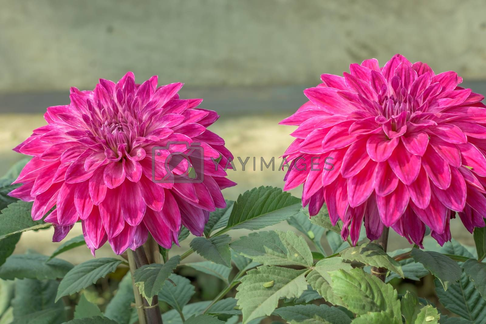 Pink Guldavari Flower plant, a herbaceous perennial plants. It is a sun loving plant Blooms in early spring to late summer. A very popular flower for gardens and bouquets. Copy space room text.