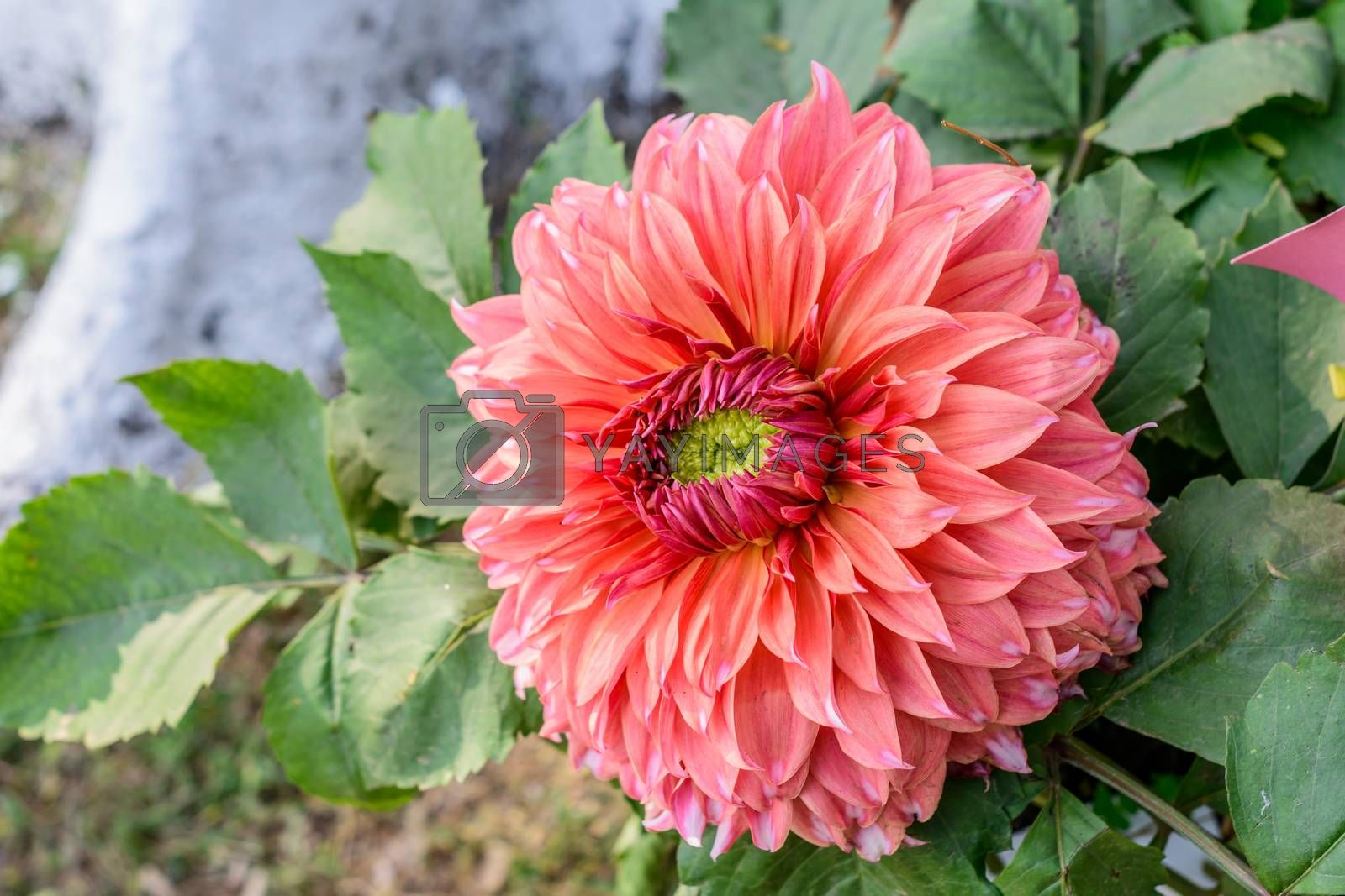 Zinnia flower plant blooming in field. It is a genus of sunflower tribe of daisy family. It is a sun loving plant Blooms in early spring to late summer. A very popular flower for gardens and bouquets.
