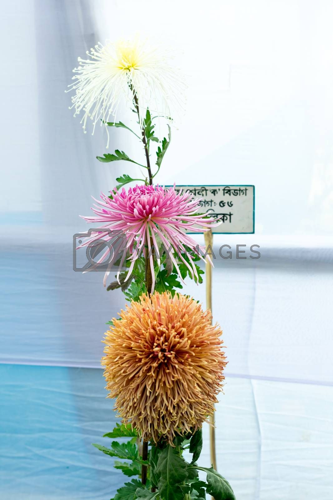 Kolkata Horticulture Society, West Bengal, India May 2019 - Bee Balm and Dahlia tulip flowers in full bloom at an annual flower show in an exotic exhibit of tropical flowers show in Kolkata India.