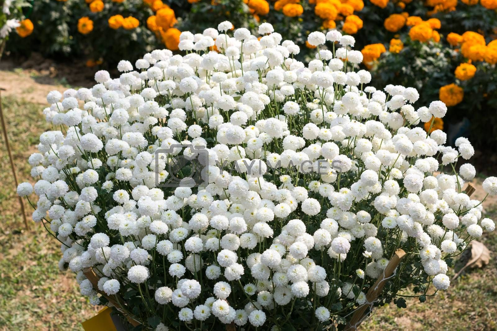 White Guldavari (Chrysanthemum) Flower, a herbaceous perennial plants. It is a sun loving plant Blooms in early spring to late summer. A very popular flower for gardens and bouquets. Copy space room.