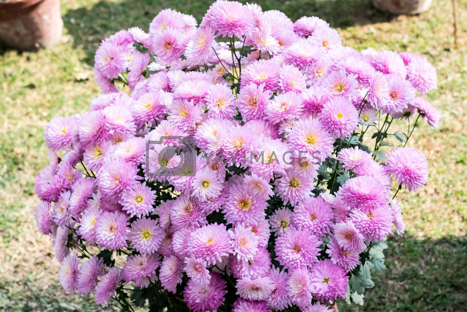 Pink dahlia flower plant, a genus of bushy, tuberous, herbaceous perennial plants growing in sunlight. It is a sun loving plant Blooms in early spring to late summer. Popular for gardens and bouquets.