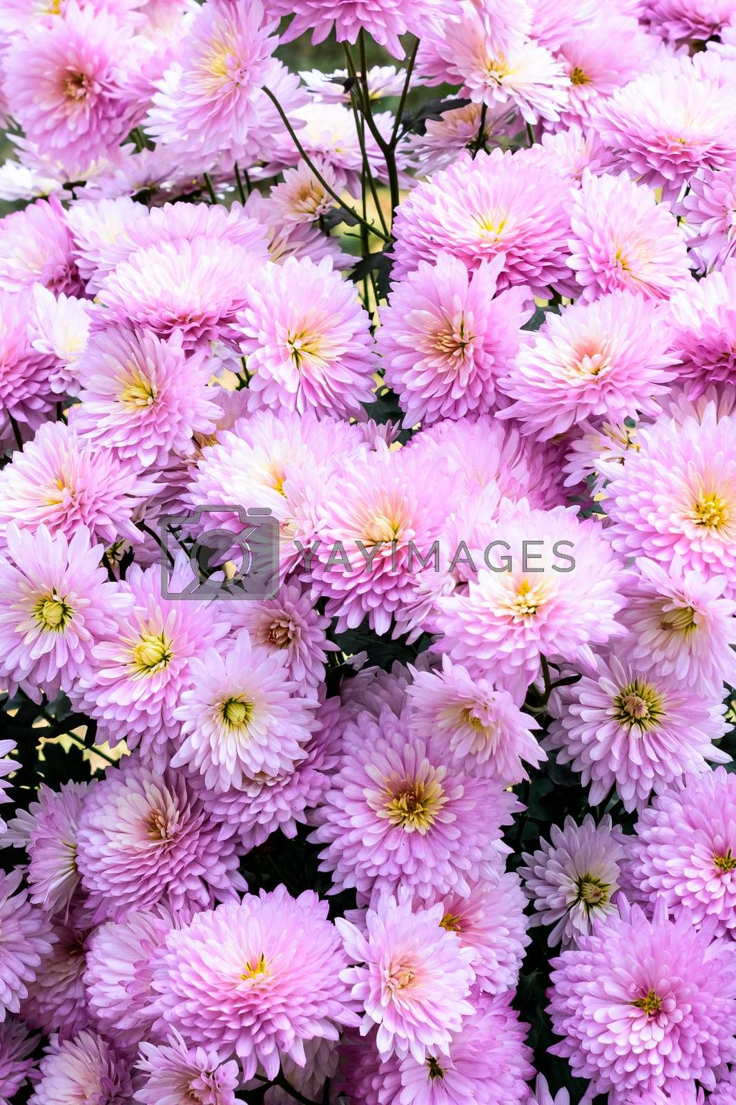 Photo of white and pink cherry blossom. View from above, flat lay, copy space. Spring and summer background. Beautiful flowers background for wedding scene. Bright picture of flora full of colors.
