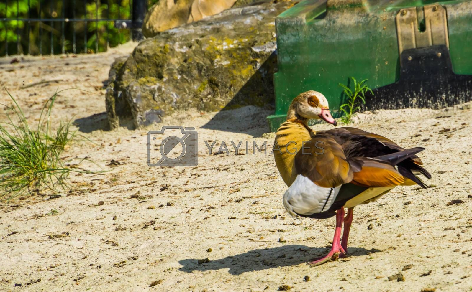 beautiful closeup portrait of a egyptian goose, colorful and tropical bird specie from Africa