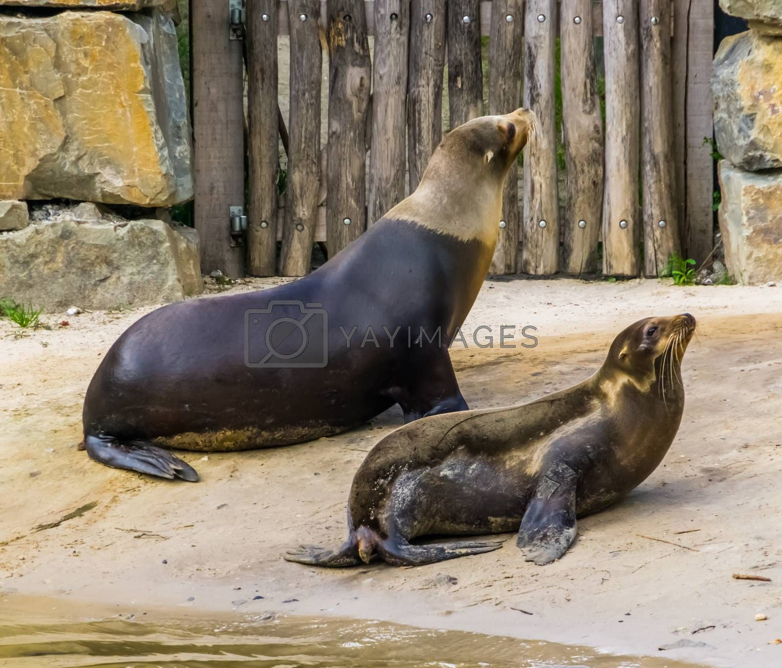 couple of california sea lions at the water side, tropical eared seal specie from America