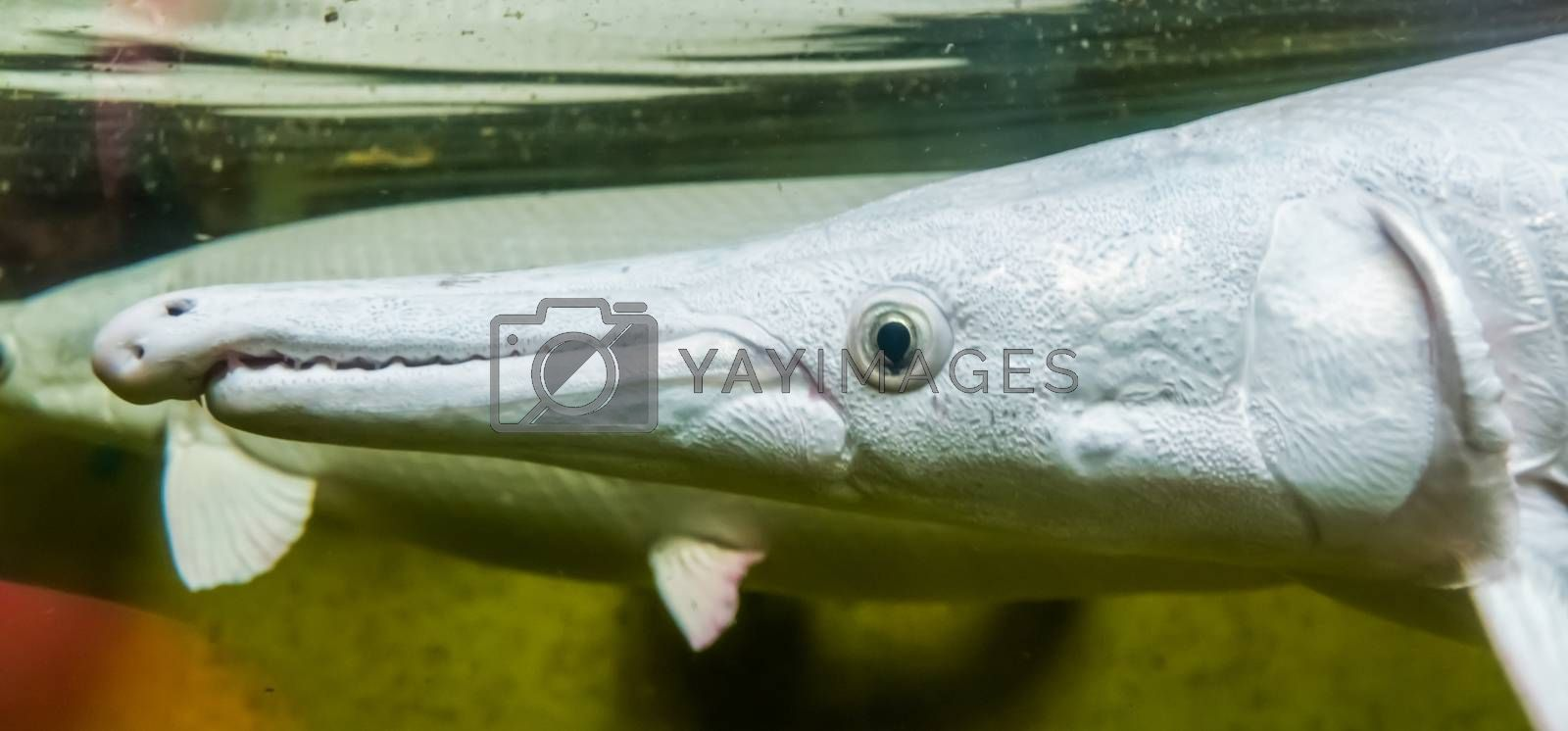 the head of a alligator gar in closeup, popular aquarium pet, tropical fish specie from America