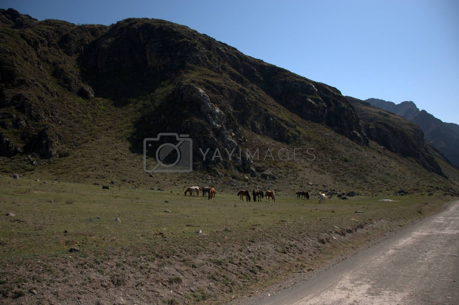 A dirt road runs along the bed of the Katun mountain river at the foot of the high hills where horses graze. Altai, Siberia, Russia.