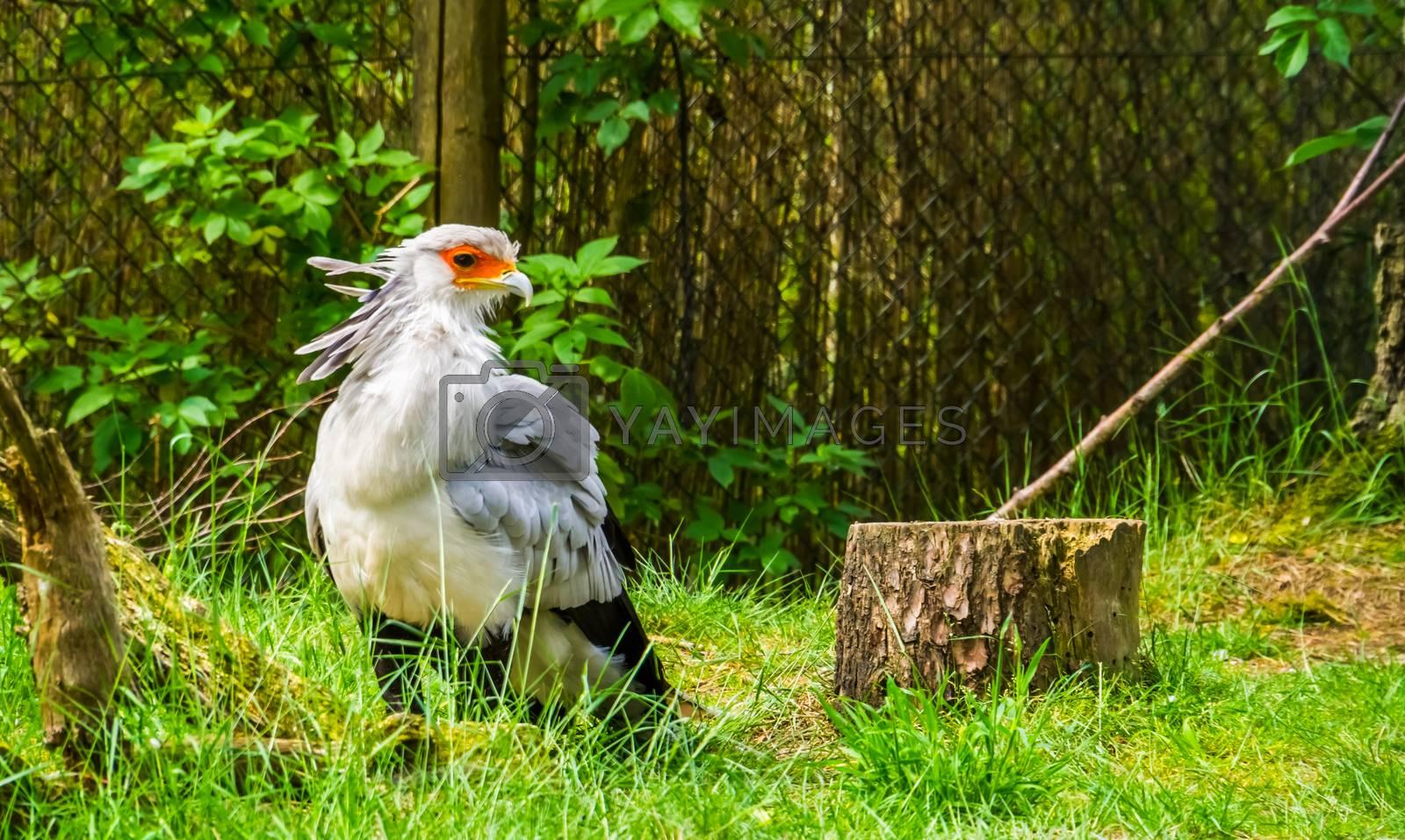secretary bird in closeup, bird of prey from Africa, vulnerable animal specie