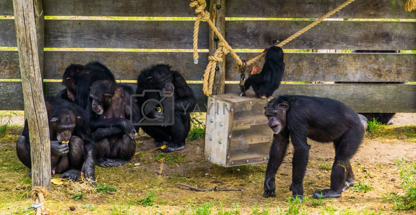 group of western chimpanzees together, Critically endangered animal specie from Africa