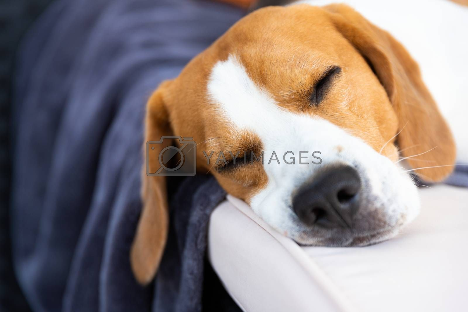 Summertime in the garden. Cute Beagle dog resting in shade on the garden sofa. Head closeup, copy space.