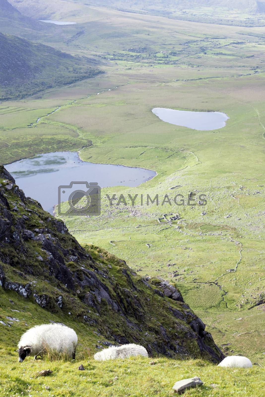 sheep at a scenic view of the mountains on the kerry way in county kerry ireland