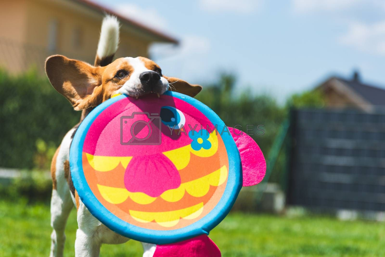 Playful Beagle Dog running with round colorful fish like toy. Copy space background
