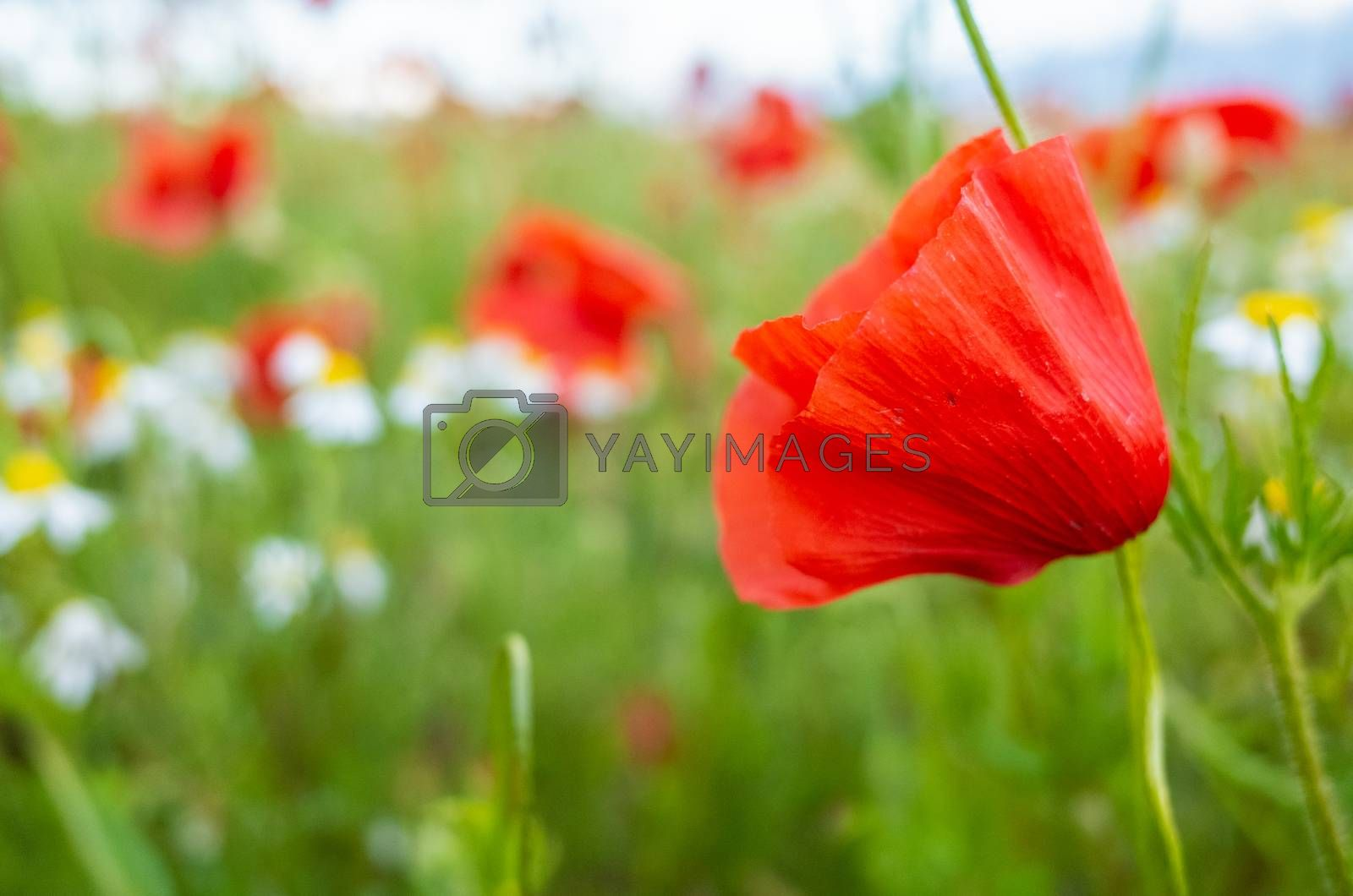 Royalty free image of Close Up View of Beautiful Poppy Flowers by kstphotography