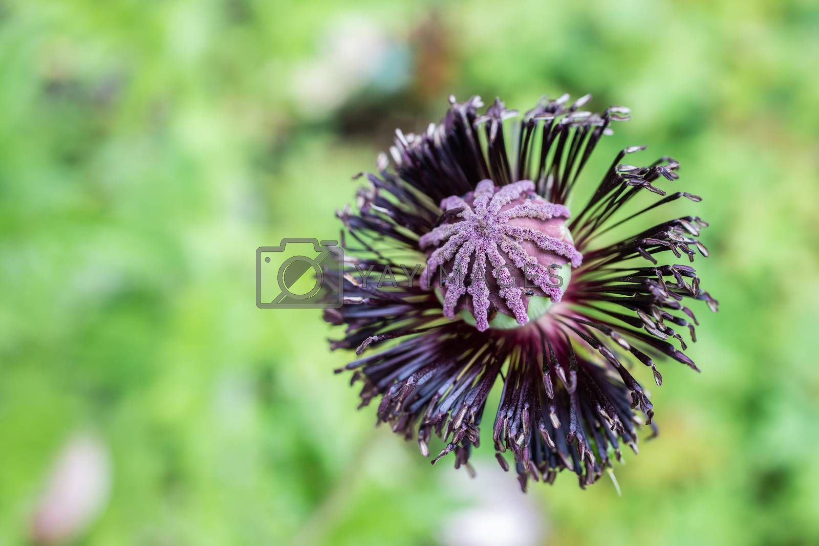Royalty free image of Close Up View of A Poppy Seed Pod by kstphotography