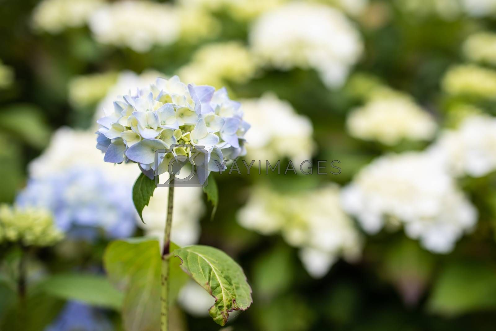 Royalty free image of Purple Hydrangea macrophylla blossoming in garden in Summer by kstphotography