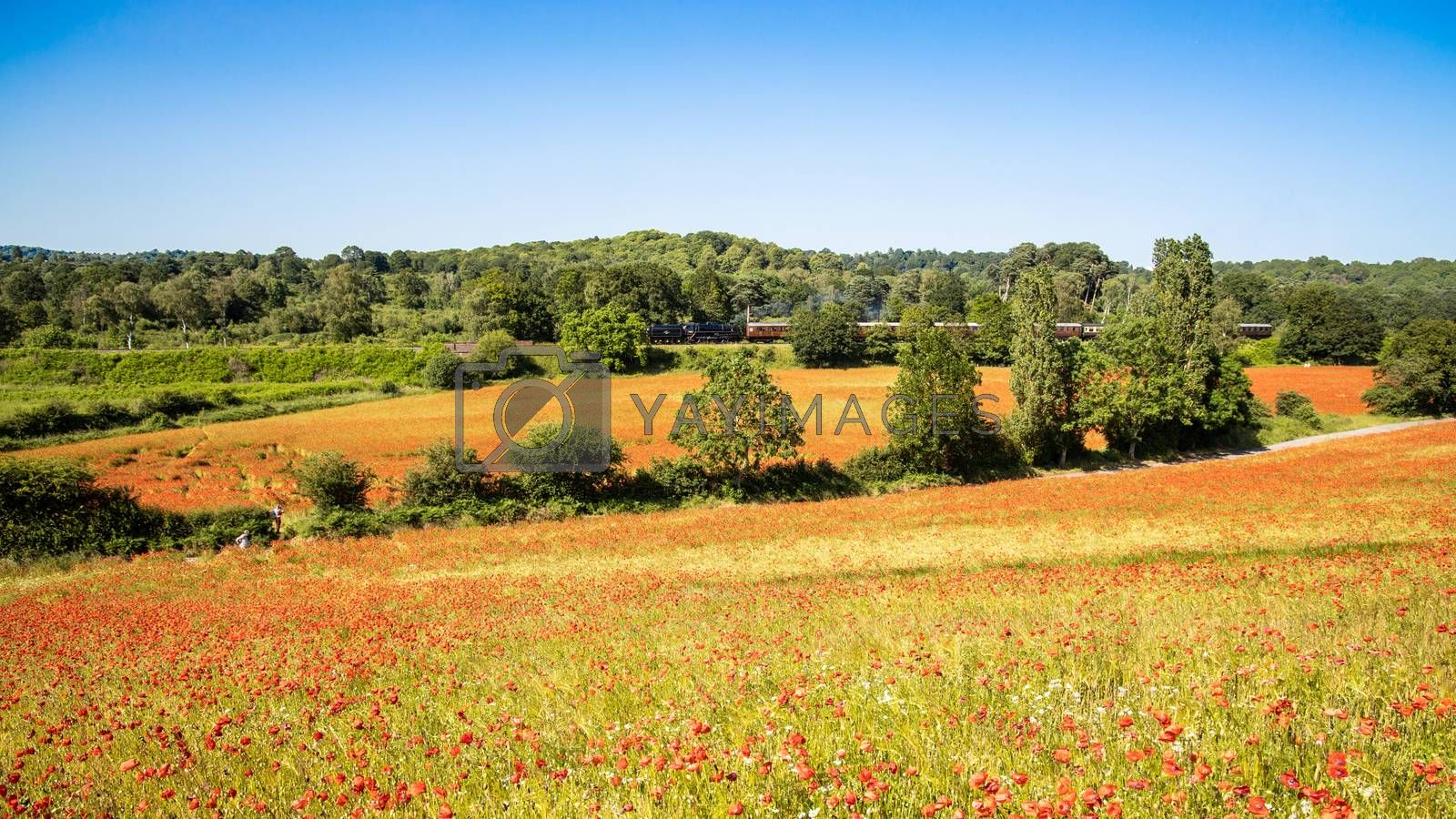Royalty free image of Poppy Field with Steam Train in the Background by kstphotography
