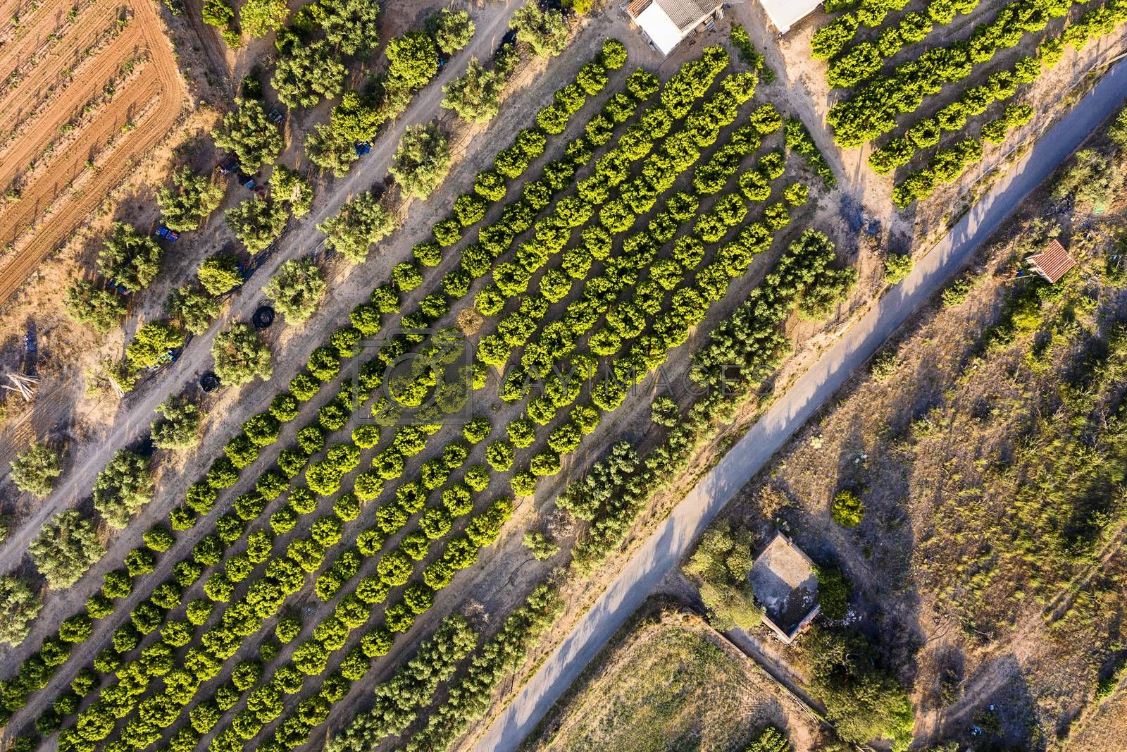 top view of a fruit trees plantation of a farm, green field agriculture industry aerial view