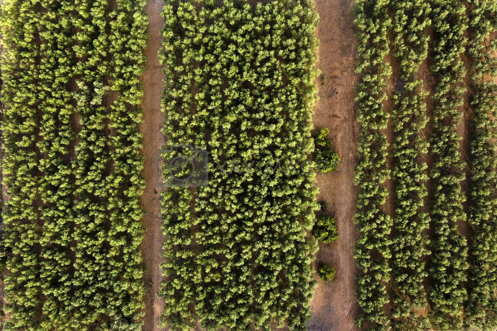 top view of a perfectly aligned farm fruit trees plantation, green field background agricultural industry aerial view
