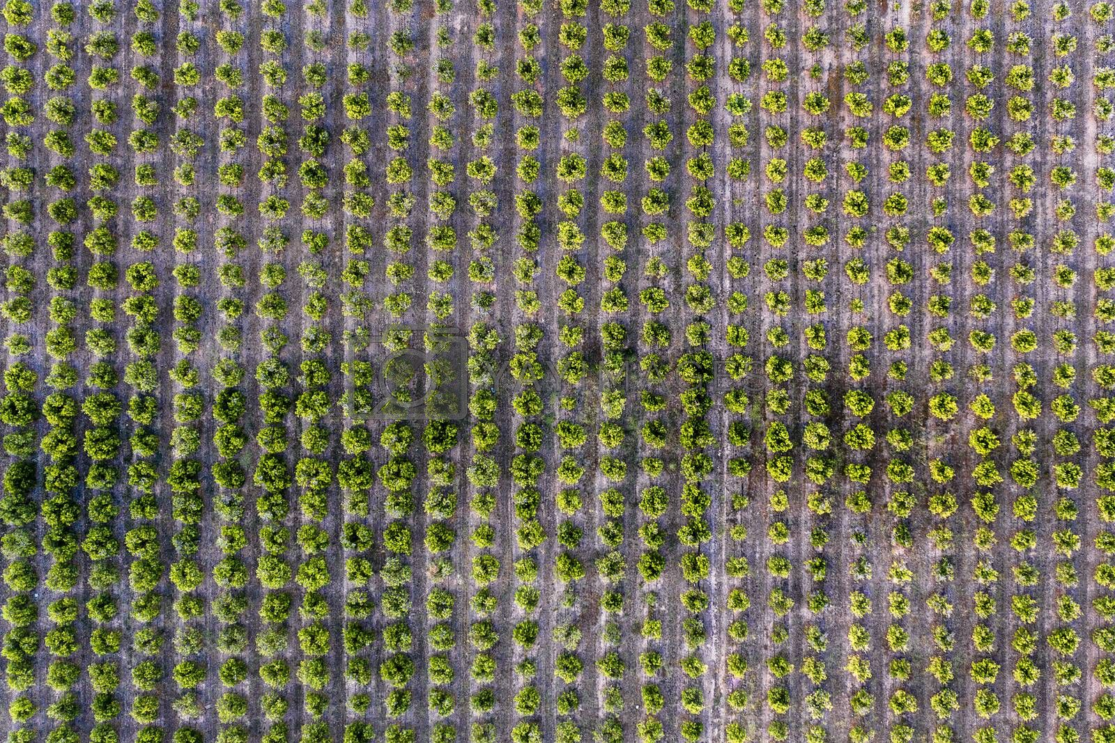 aerial view of a perfectly aligned farm fruit trees plantation, green field background agricultural industry top view