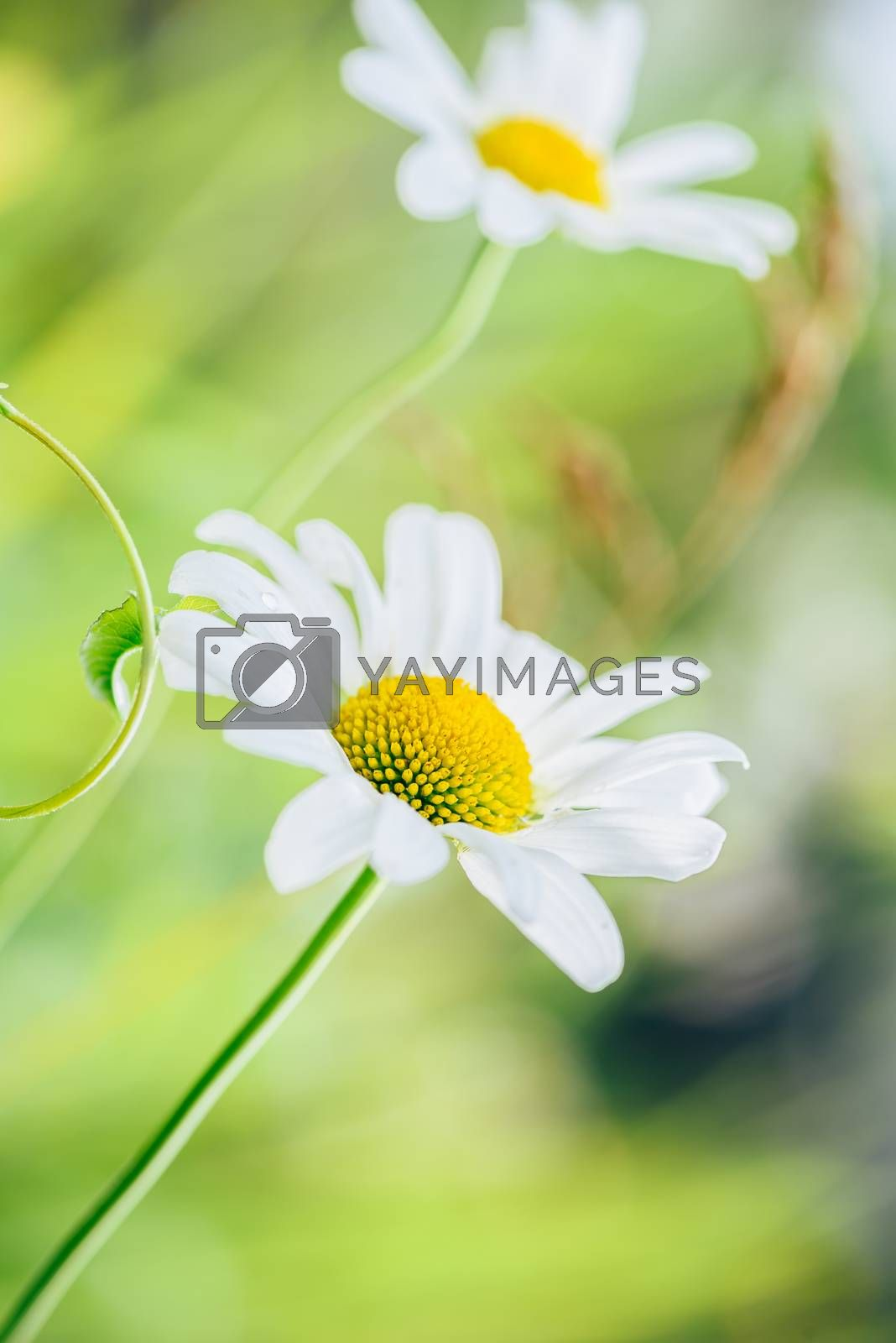 Royalty free image of Meadow Daisy Flower at Sunny Day. by Seva_blsv