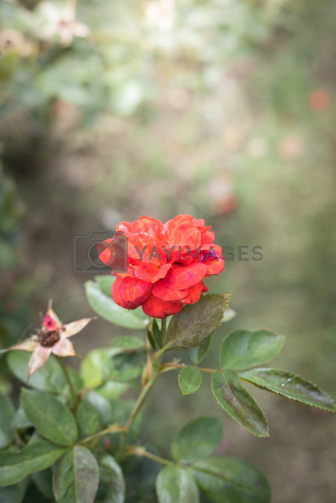 Royalty free image of The background image of the colorful flowers by teerawit