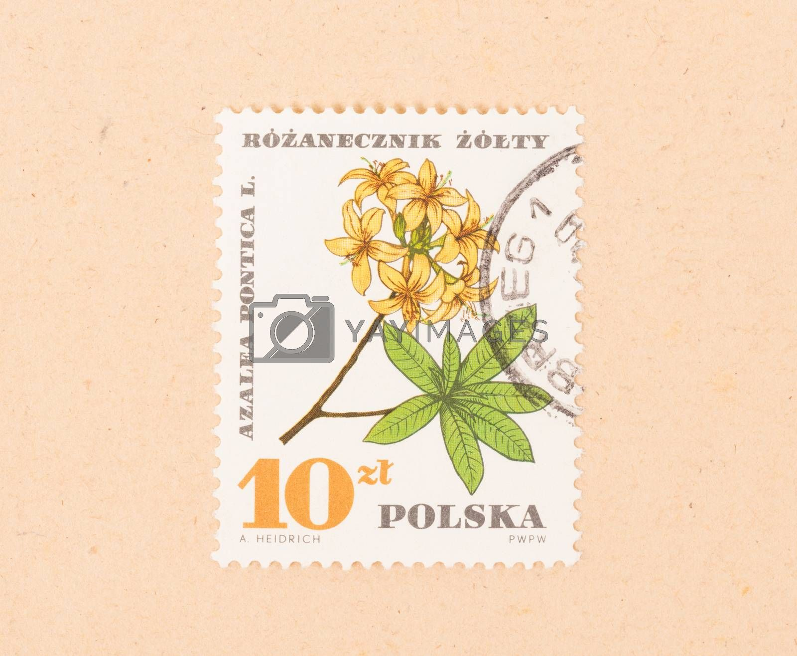 Royalty free image of POLAND - CIRCA 1970: A stamp printed in Poland shows a flower, c by michaklootwijk