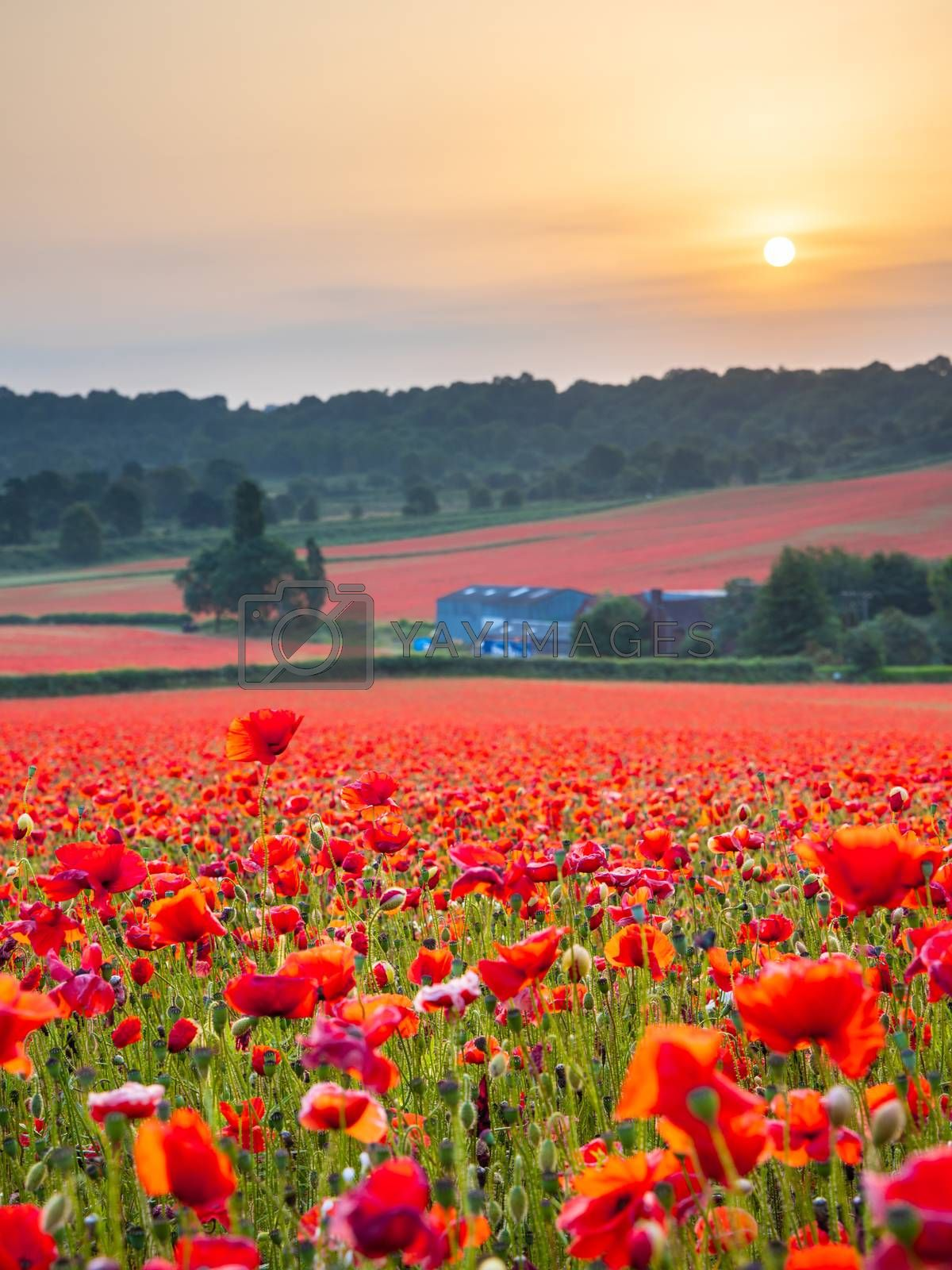 Royalty free image of Beautiful Poppy Field at Brewdley, West Midlands at Dawn by kstphotography