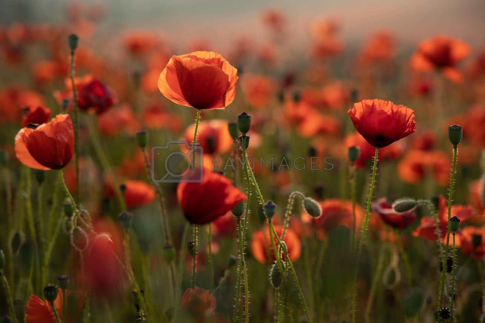Royalty free image of Close Up View of Poppy Flowers at Dawn by kstphotography