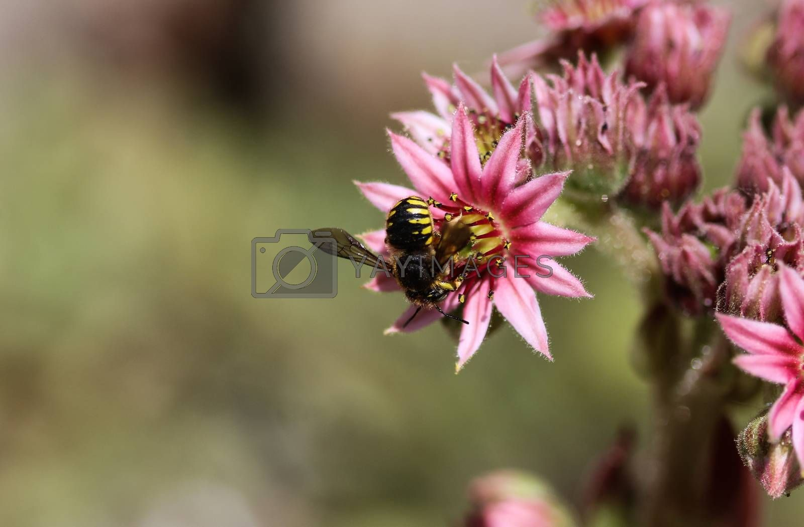 Royalty free image of Anthidium manicatum, commonly called the European wool carder bee by michaelmeijer