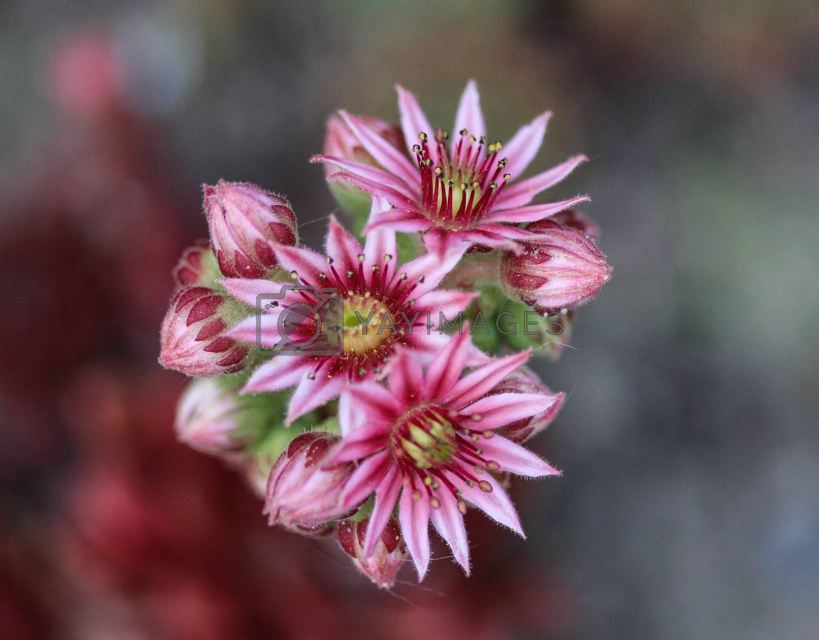 Royalty free image of common Houseleek (Sempervivum tectorum) flower, also known as Hens and Chicks, blooming during spring by michaelmeijer
