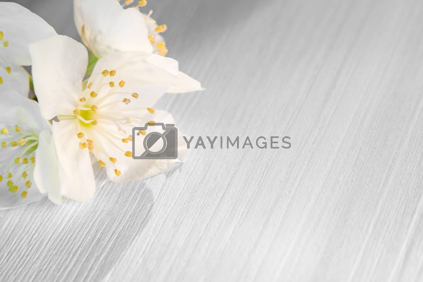 Royalty free image of flowers of philadelphus somewhere called jasmine or mock orange on a white wooden table by galsand