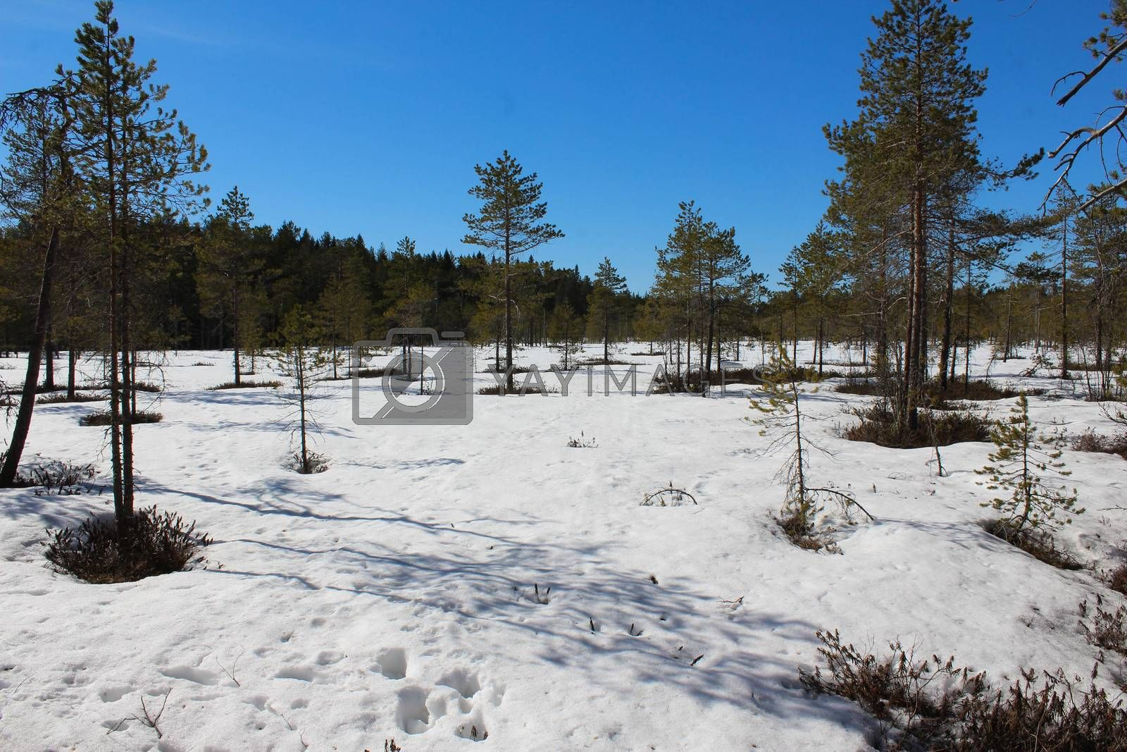 Royalty free image of Boreal forest path, Björnlandet National Park, in sweden during winter. Ground is covered with snow by michaelmeijer