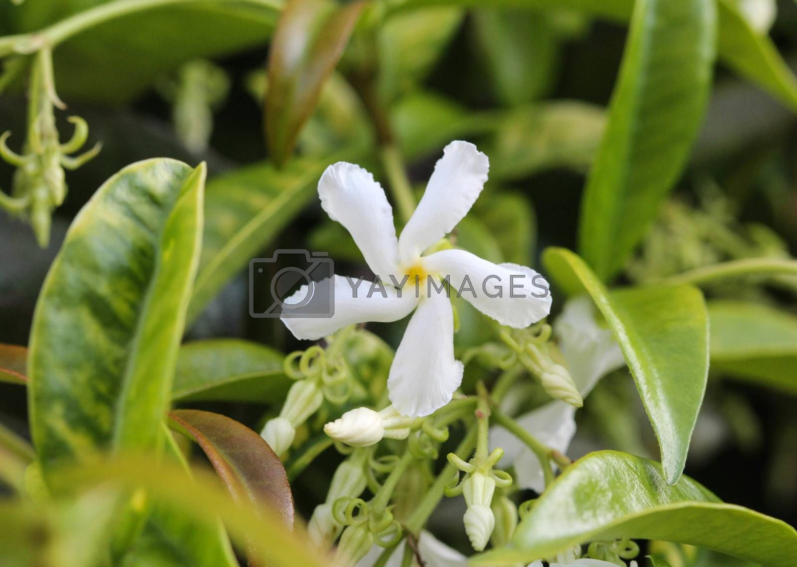 Royalty free image of Trachelospermum jasminoides, Common names include confederate jasmine, southern jasmine, star jasmine, confederate jessamine, and Chinese star jasmine, blooming in garden by michaelmeijer